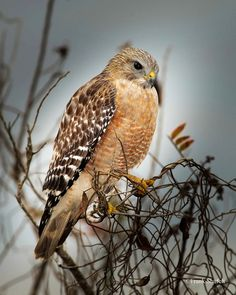 The Red-shouldered Hawk (Buteo lineatus) is a common but beautiful raptor. Its breeding range spans eastern North America and along the coast of California and northern to northeastern-central Mexico. Occasionally we may encounter one that will let us walk up close allowing us to observe in awe. Image taken at Dinner Island Ranch Wildlife Management Area, Hendry County, Florida, USA.
