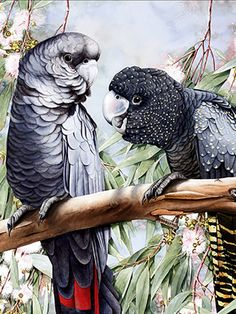 Black Cockatoos is a major work in the watercolour and finalist in Waterhouse Natural History Art Prize, also featured in Artist's Palette issues 35 and 123 by Australian artist Heidi Willis Cockatoo, Australian Artists, Bird Art, Natural History, Art Boards, Pastels, Art History, Watercolour, Wildlife