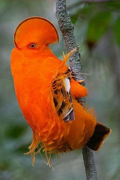 Rare Birds Of Paradise 1000+ images ab...
