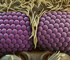 Colored scanning electron microscope image of a mosquito's eyes.