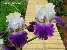 I love the scent of bearded irises.