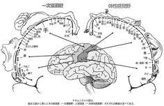 ホムンクルス 脳 - Google 検索