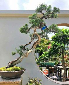 1898 Best Japan Bonsai Images In 2019 Bonsai Plants Bonsai