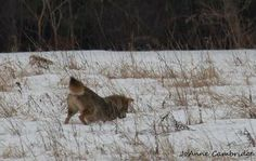 Saw a pack of three Coyotes in a field where I usually see deer.    I had brought my camera that day to photograph the deer, but there were no deer and