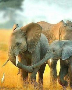 Beautiful creatures; great capture..!! @iloveelephant262 - Collect by @i_love_elephant_tshirtstore . . For info about promoting your elephant art or crafts send me a direct message @elephant.gifts or email elephantgifts@outlook.com . Follow @elephant.gifts for beautiful and inspiring elephant images and videos every day! . #elephant #elephants #elephantlove