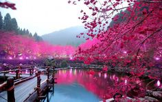 1. Cerezo proveniente de Sakura, Tokio