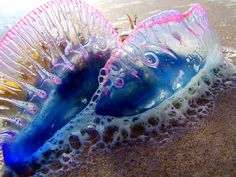 Portuguese men of war on the beach...beautiful but to be avoided. Under The Ocean, Sea And Ocean, Medusa, Portuguese Man O' War, Portuguese Food, Beautiful Sea Creatures, Man Of War, Water Animals, Wild Animals