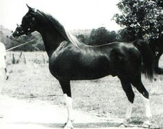 Shafreyn 1954 ch.s. Royal Diamond x Sharfina by Rytham .  Lines to NUreddin , Astraled, and Rasim among others