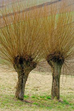 Wierzby Trees taken care of year after year.   These watersprouts are good for weaving and other certain applications but aren't so good for trees used for decorative purposes.