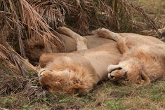 Lions spooning while they sleep | 22 Words