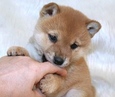 Japanese Dog Breeds, Japanese Dogs, Cute Puppies, Cute Dogs, Dogs And Puppies, Doggies, Cute Baby Animals, Animals And Pets, Chien Shiba Inu