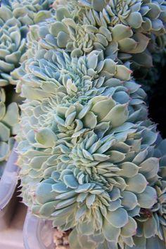 echeveria elegans via galleryhip.com