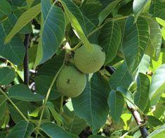 Diólevél (Juglans regia)Közönséges dióGyógyhatásaNemcsak a diófa termése, a dió értékes élelmiszer, hanem a levele is számos hasznos tulajdonsággal rendelkezik, mely miatt a népgyógyászat már évszázadok óta God
