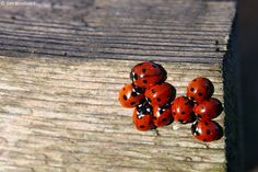 7-Spot Ladybird's - (Coccinella 7-punctata)