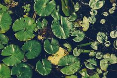 New free stock photo of water plant leaves