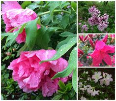 Tree peonies, lilac, and azaleas, all looking a bit more spectacular in the rain!