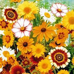Daisy Mix Flower Seed - Other Flower Seeds - Flower and Grass Seed - Gurney's Seed & Nursery