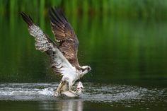 https://flic.kr/p/JzBnTX | Osprey. Aviemore, Scotland