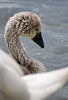 'A very small swan by Robalka Swan, Cute Animals, Creatures, Birds, Animales, Insects, Animal Kingdom, Pretty Animals, Swans