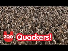 5000 Ducks Go For A Walk...reminds me of Ping!