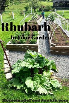 Rhubarb In Your Garden Why you should Grow and how! By http://HomemadeFoodJunkie.com
