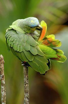 Orange-winged Amazon (Amazona amazonica) / Венесуэльский амазон