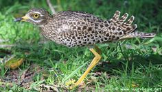The Spotted Thick-knee is commonly known as the Dikkop in South Africa. Birds, Bird