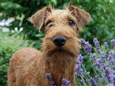 irish terrier puppy, cute dog, flowers
