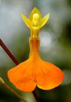 Orchid: Comparettia ignea - Flickr - Photo Sharing!