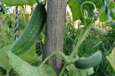 Egy hatékony keverék, ami megvédi az uborkád a betegségektől Homesteading, Cucumber, Vegetables, Gardening, Red Peppers, Lawn And Garden, Vegetable Recipes, Zucchini, Veggies