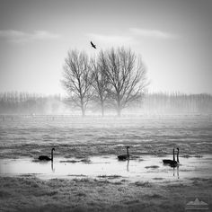 On a frosty, misty cold winter's morning Anthony was intrigued by the black swans swimming along a small stream. The trees in the background were perfectly lit by the morning light.   Landscape photo print for sale taken by photographer Anthony Turnham near Rangiora, North Canterbury, New Zealand.