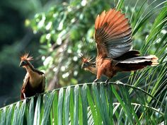 Hoatzins. The Hoatzin (Opisthocomus hoazin), also known as the Hoactzin, Stinkbird, or Canje Pheasant, is a species of tropical bird found in swamps, riverine forest and mangrove of the Amazon and the Orinoco delta in South America. It is notable for having chicks that possess claws on two of their wing digits.