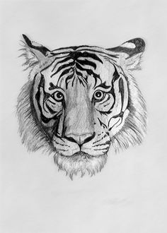 Pencil drawing of tiger by S. Fairbanks || #Art #Artwork #Artist #Tiger #Tigers #Cat #Cats #Drawing #Wildlife