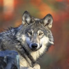 """The gray wolf (Canis lupus lycaon), also known as the timber wolf, is the largest wild member of the dog family. Found in parts of North America, gray wolves are making a comeback in the Great Lakes, northern Rockies and Southwestern United States."" CREDIT: Kramer, Gary 