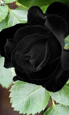 Black Rose Flower, Black And White Flowers, Exotic Flowers, Pretty Flowers, Blossom Garden, Gothic Garden, Black Garden, Rose Pictures, Blue Roses