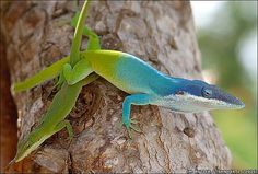 This is an anolis lizard with a blue head. I think it may also be called a chameleon.