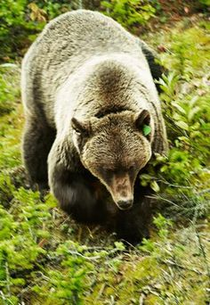 Jasper National Park  The wildest of Canada's mountain parks, Jasper National Park is home to the Big Five: deer, elk, moose, wolf and bear, which all roam free. (Mark Read)
