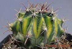 ferocactus variegata  Cactus Gallery