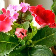Izbové rastliny môžeme laicky deliť na kvitnúce a tie ostatné. Jedny dopĺňajú druhé. Všetko záleží od vkusu a priestoru. Z tých kvitnúcich u nás doma vyhrala brazílska kráľovná, ktorá tak ako… Elegant Flowers, Plants, Flowers, Plant, Planets