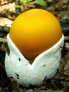 Caesar's Mushroom (Amanita caesarea) ~ By Monika Belková. Once this beautiful mushroom fully erupts the cap will open and 'blush' on the top to an orange/red usually...the gills will be yellow as will the stem/skirt.