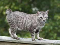 6 Most Common Cat Health Problems Cats are good at self-maintenance. But even your fastidious feline can't prevent some of these more common cat diseases and health issues. Manx, Gato Bobtail, African Wild Cat, American Bobtail Cat, American Wirehair, Cat Diseases, Exotic Shorthair, American Shorthair, Kitty Cats