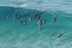 Dolphins catching a wave.