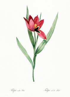 Your place to buy and sell all things handmade Star Illustration, Free Illustrations, Botanical Illustration, Watercolor Illustration, Flower Illustrations, Fire Lily, Flower Catalogs, Joseph, Frames