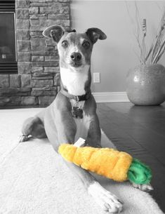 Italian Greyhound Eating His Vegetables (Picture and Video)