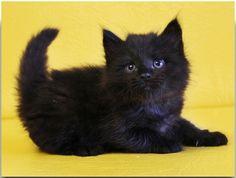 I wish he's my kitten....   Siberian Male Geraldt of Tavaloga   solid black (SIB n)
