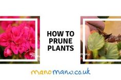 How to Prune Roses and Geraniums - The Handy Mano Guide How to Prune . How to Prune Ros