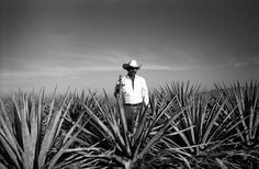 Tequila, Jalisco. this is the plant where tequila is made from