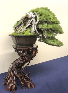 Flowering bonsai plants can be developed from seed or cuttings or also from young trees. Flowering bonsai plants require feeding, watering pruning and training. Buy Bonsai Tree, Pine Bonsai, Bonsai Tree Types, Indoor Bonsai Tree, Bonsai Plants, Bonsai Trees, Juniper Bonsai, Plantas Bonsai, Tree Base