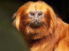 """Focus sur les singes volés au zoo de Beauval - Un tamarin-lion doré. L'un des sept individus emportés par les voleurs est """"sous soins intensifs"""", a alerté le directeur du zoo de Beauval. """"Il a une blessure importante à la queue. Il a besoin de soins quotidiens""""."""
