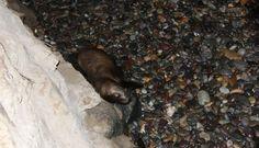 Así fue el rescate de un lobo marino que varó en una playa de Barranco [FOTOS]
